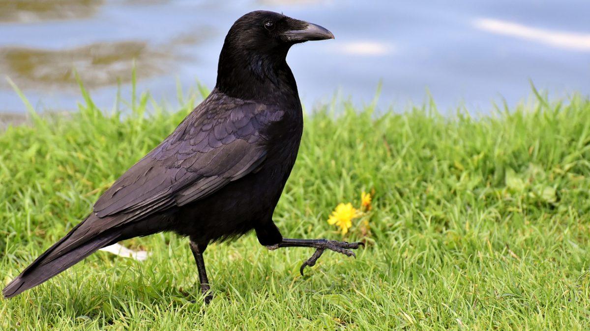 烏鴉的願望