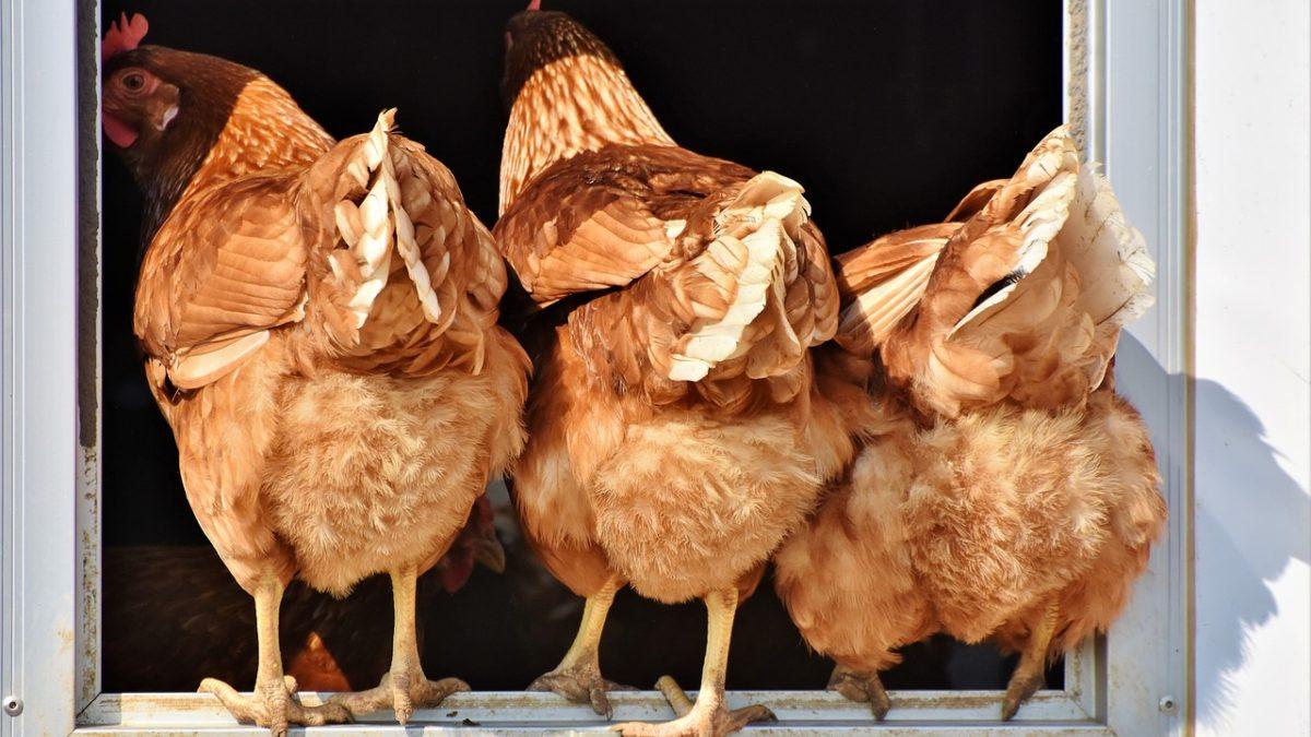 耍心機的雞